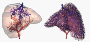organos-3d-vasos-capilares
